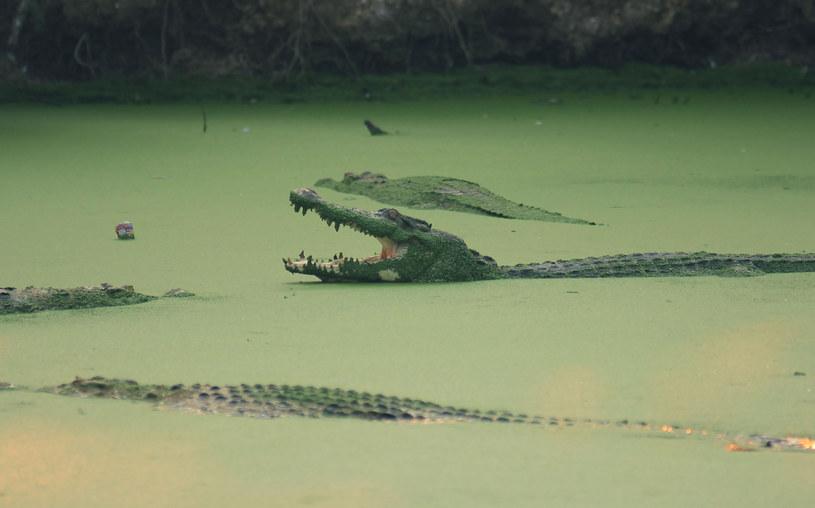 Krokodyle zagrożeniem dla miast po powodzi w australijskim stanie Queensland (zdjęcie ilustracyjne) /GATHA GINTING /AFP