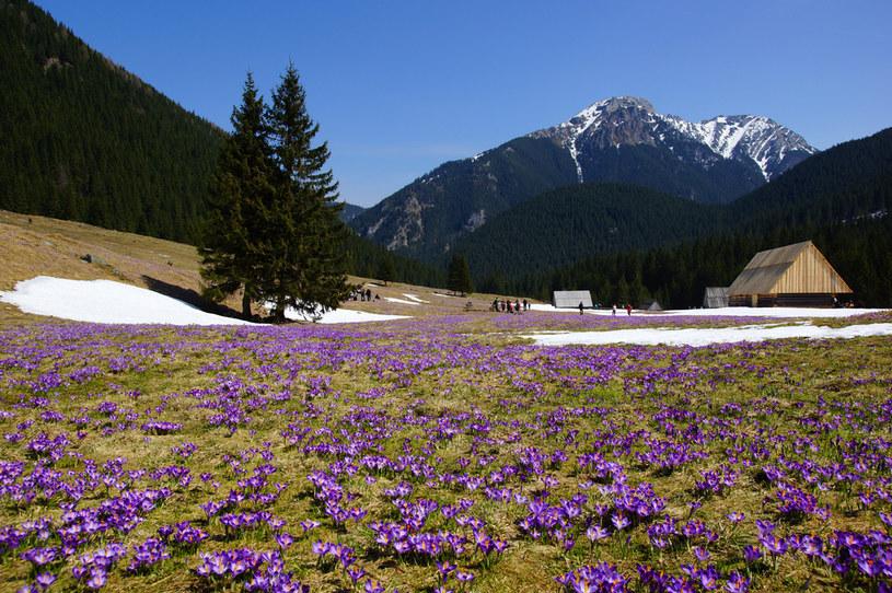 Krokusy w Tatrach zakwitną lada moment /123RF/PICSEL