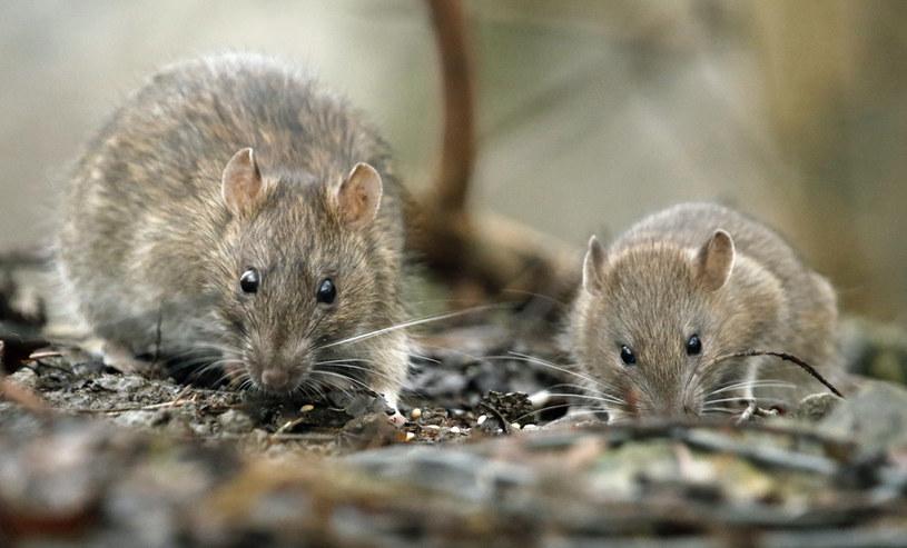 """""""Król szczurów"""" znaleziony na podmokłym terenie Rosji wzbudził postrach internautów /123RF/PICSEL"""
