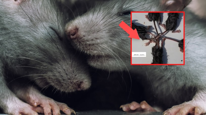 """""""Król  szczurów"""" zwiastuje nieszczęście – zapowiada głód, plagę lub zbliżającą się zarazę /@__alibulat__rasulov__ /Instagram"""