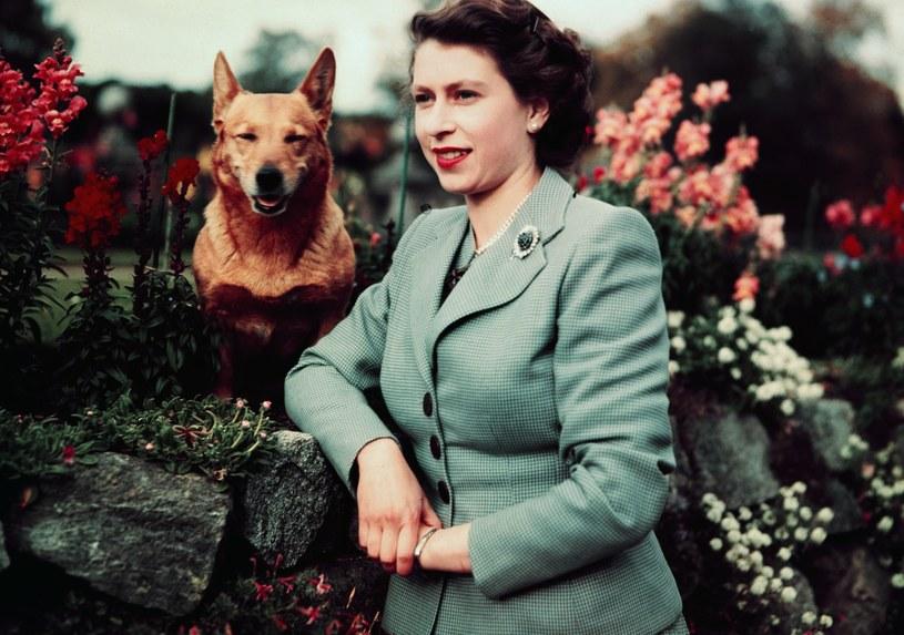 Królowa Elżbieta II z ukochanym czworonogiem / Bettmann / Contributor /Getty Images