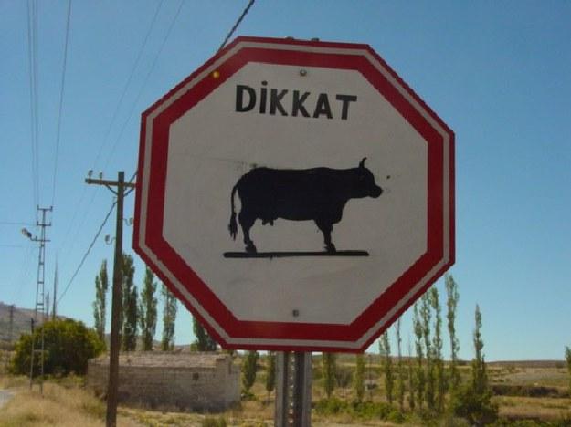 Krowa jaka jest każdy widzi.