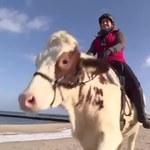 Krowa kłusuje po bałtyckiej plaży. Latem chciałaby zwiedzić Europę