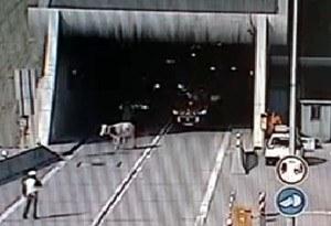 Krowa na autostradzie /