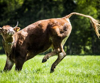 Krowa-uciekiniera złapana po 2 miesiącach. Zamiast do rzeźni trafiła na emeryturę