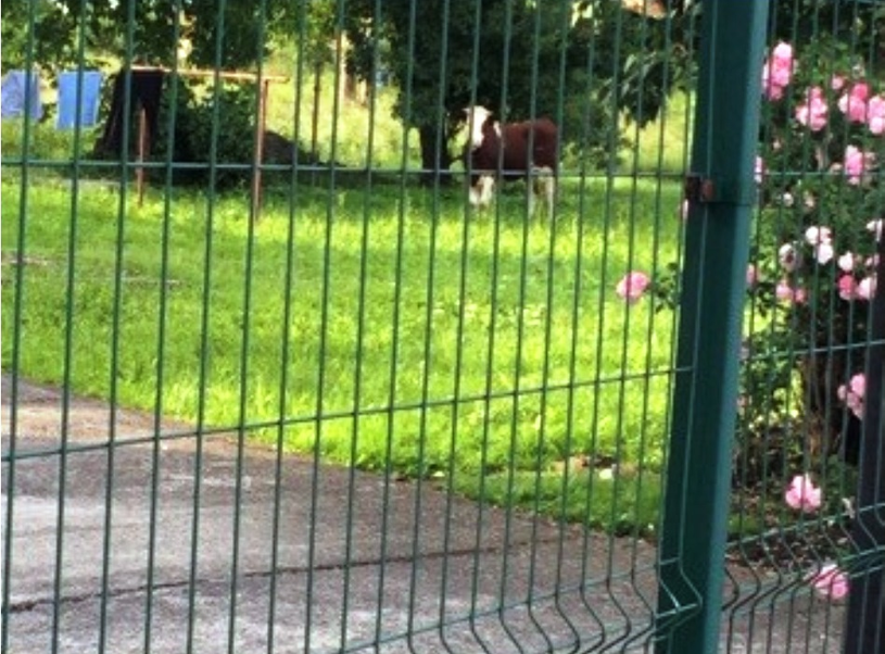 Krowa wbiegła do ogrodzonego sadu. Fakt ten wykorzystała policjantka, która zatrzasnęła bramę /Policja