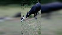 Krowa zaczepiała kota i… dostała za swoje!