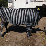 Krowy jak zebry? Nowy sposób na ugryzienia końskich much