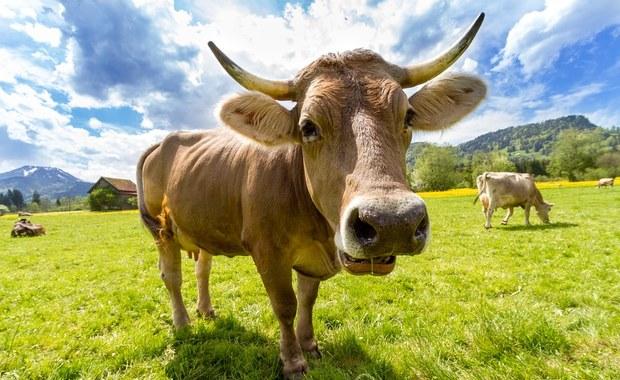 Krowy optymistki wyrastają z optymistycznych cielaków