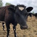 Krowy z Lubuskiego. Aktywiści rozbiją miasteczko namiotowe przy zagrodzie
