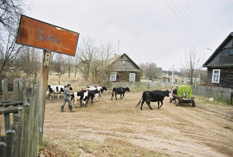 Krowy z Żukach? Jadąc przez Polskę można natknąć się i na taki obrazek /Piotr Mecik /Agencja FORUM