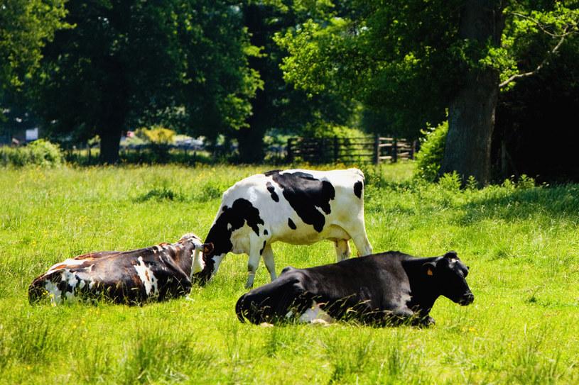 krowy /© Photogenica