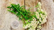 Krwawnik - skuteczny lek prosto z łąki