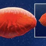 Krwistoczerwona meduza. Naukowcy czegoś takiego nie widzieli