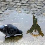 Krytyka za odstrzał gołębi