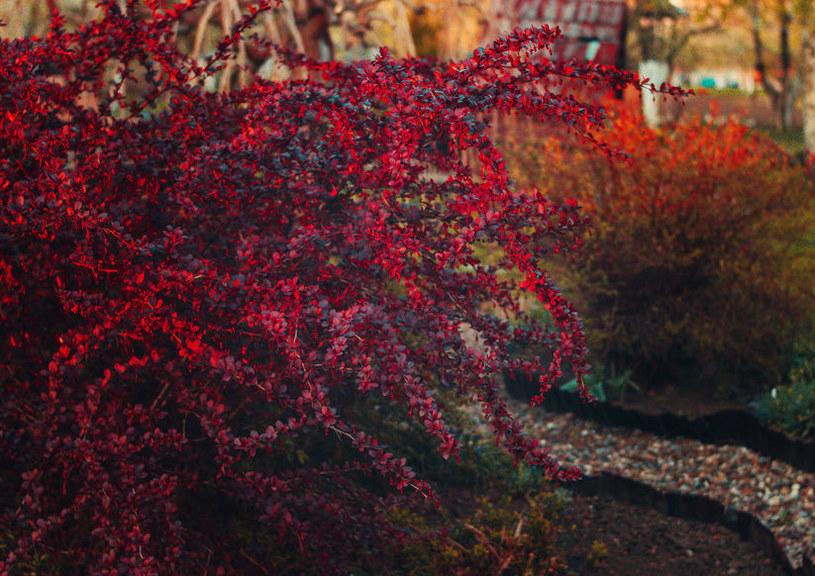 Krzew berberysu /©123RF/PICSEL