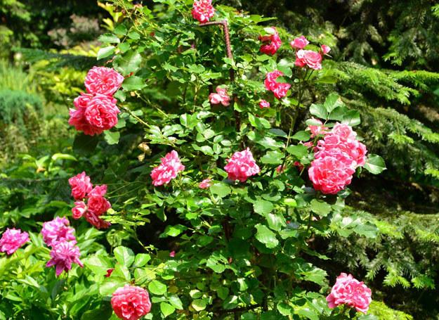 Krzew królowej kwiatów stworzy zarówno na balkonie jak i w ogrodzie sielski klimat /123RF/PICSEL