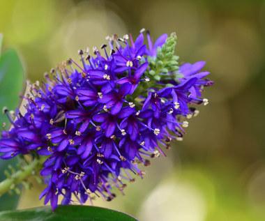 Krzewinka hebe: Roślina zimozielona do ogrodu i doniczki