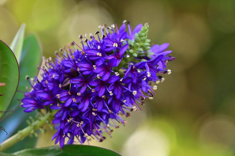 Krzewinka hebe: Wspaniała ozdoba ogrodu i parapetu /123RF/PICSEL