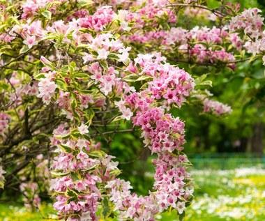 Krzewuszka cudowna: Co zrobić, by pięknie zakwitła?