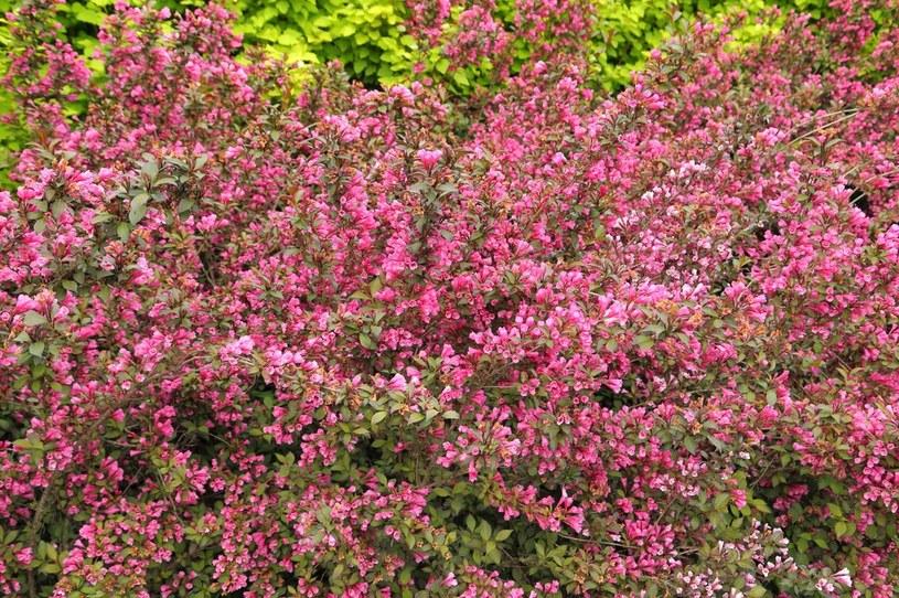 Krzewuszka cudowna pięknie i obficie kwitnie /123RF/PICSEL