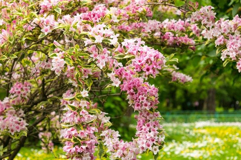 Krzewuszka cudowna /©123RF/PICSEL