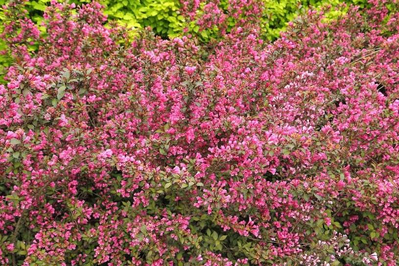 Krzewuszka pięknie zdobi /©123RF/PICSEL