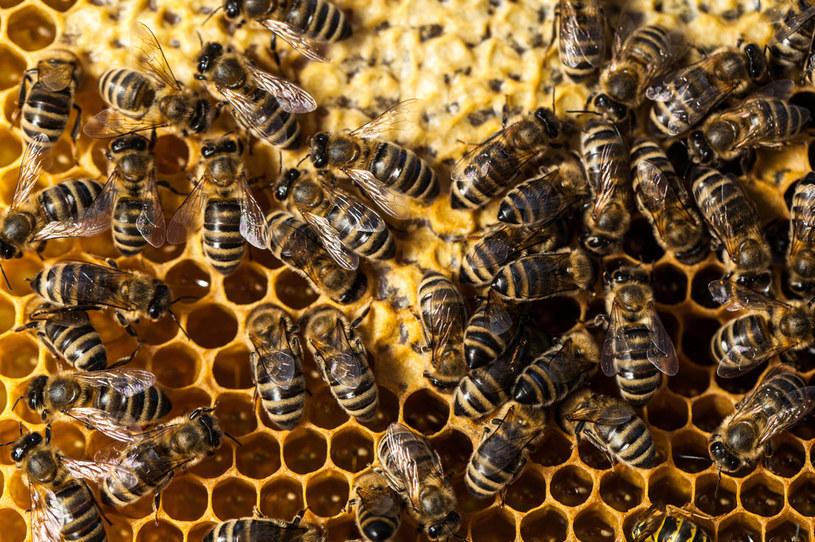 Kto by pomyślał, że pszczoły mogą stać się przyczyną poważnego, budowlanego problemu /123RF/PICSEL