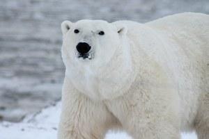 Kto ostatni zobaczy niedźwiedzia polarnego?