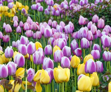 Które cebulki roślin kwitnących zimują w glebie?