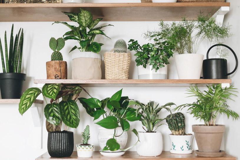 Które rośliny doniczkowe będą rosły w cieniu? /©123RF/PICSEL