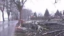 Ktoś ponacinał przydrożne drzewa. Jedno prawie spadło na ciężarówkę