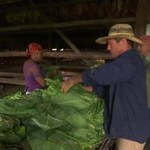 Kuba cieszy się z rekordowych zbiorów najlepszej jakości tytoniu na słynne cygara
