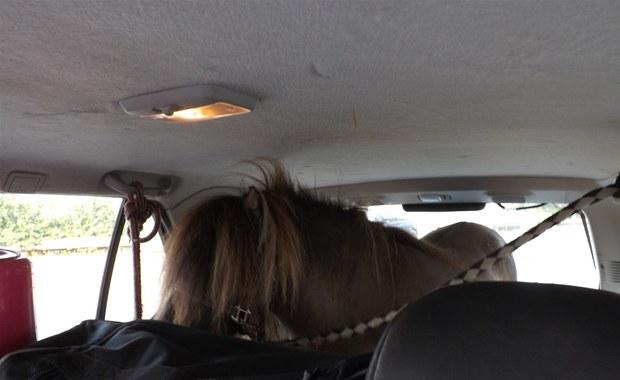 Kucyk na miejscu pasażera. Policjanci przecierali oczy ze zdumienia
