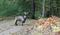 """Kujawsko-pomorskie: W lesie """"szaleją"""" dwa kozły"""