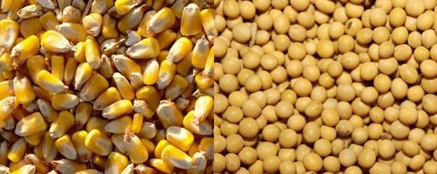 Kukurydza i soja szkodliwość /© Photogenica