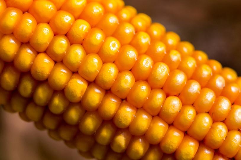 Kukurydza jest najdroższa od ośmiu lat /123RF/PICSEL