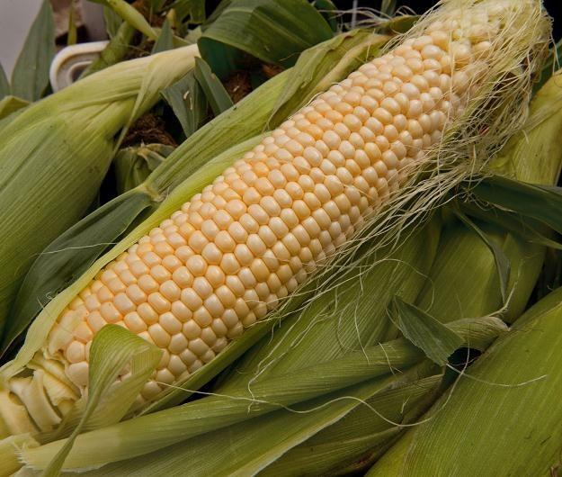 Kukurydza modyfikowana genetycznie jest powszechnie uprawiana /AFP
