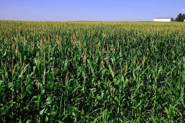 Kukurydza w USA dla rynku alkoholu ma znaczenie /marketnews24.pl