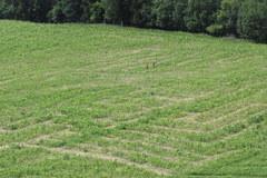 Kukurydziany labirynt w kształcie żaglowca koło Gdańska