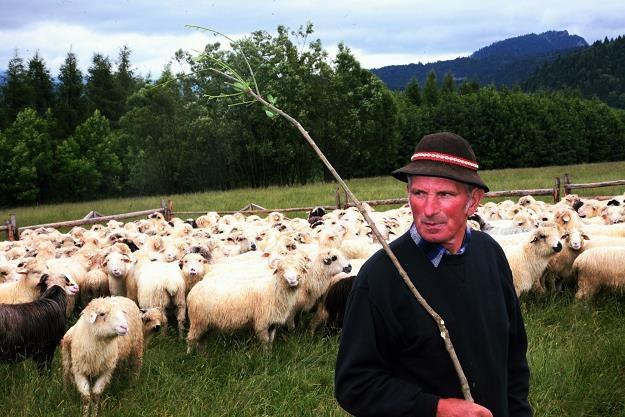 Kulturowy wypas owiec kosztować będzie 7 mln złotych. Fot. Stach Antkowiak /Reporter
