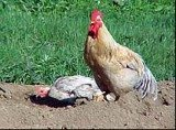 Kura ma dodatkowy organ równowagi w nogach /RMF