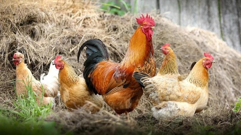 Kurczaki ze zmodyfikowanym DNA z pełną odpornością na popularny wirus! /Geekweek