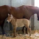 Kurt - pierwszy sklonowany koń Przewalskiego