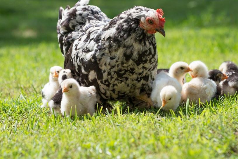 Kury, kiedy uczą swoje pisklęta odpowiednich zachowań, modyfikują własne rutynowe zachowania /123RF/PICSEL