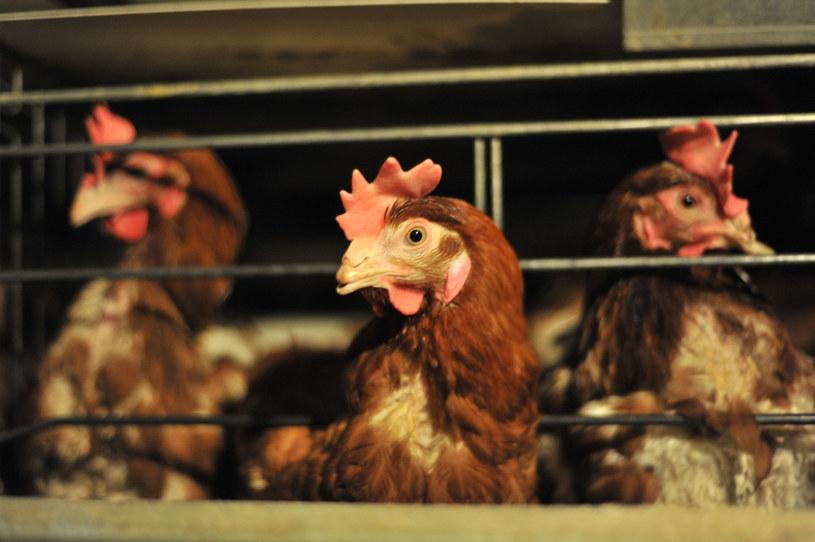 Kury żyjące na tzw. wolnym wybiegu składają rocznie około 200 jaj, ahodowane wfermach –nawet 350