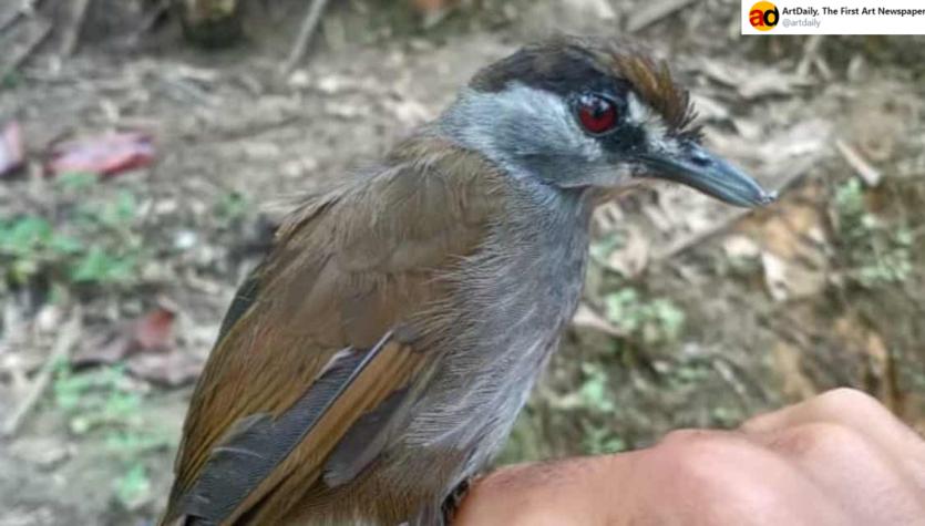 Kusotymalek czarnobrewy. Ten ptak miał wyginąć 170 lat temu!