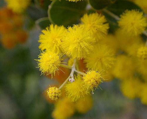 kwiat akacji /© Photogenica