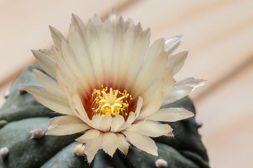 Kwiat astrofytum /©123RF/PICSEL