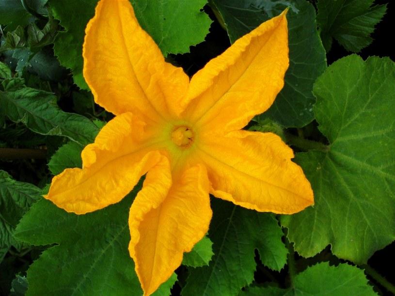 kwiat cukinii /© Photogenica